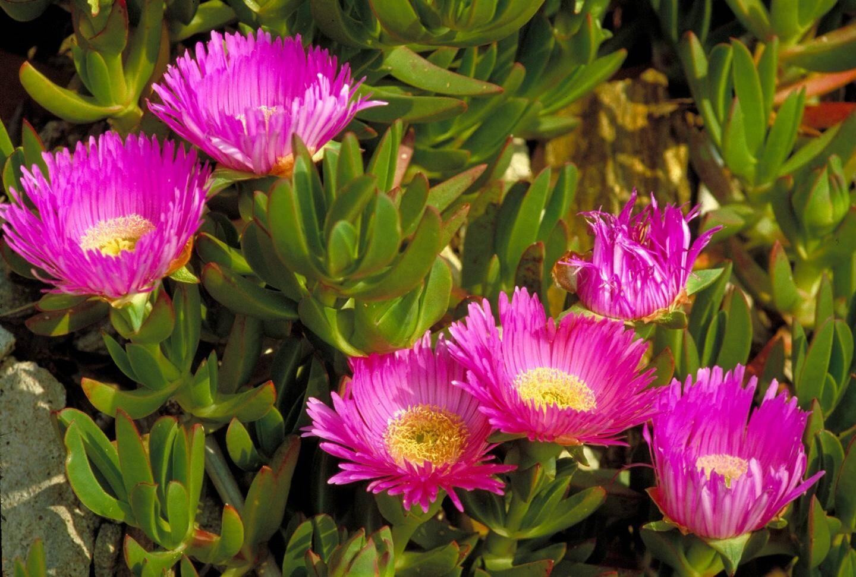 Les griffes de sorcière  sont des plantes invasives.