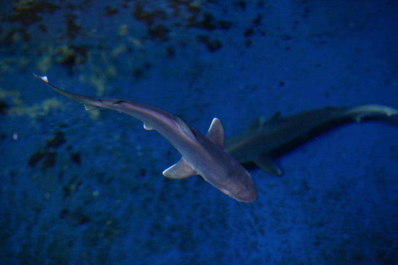 À la naissance un requin gris mesure entre 40 et 55cm et peut peser jusqu'à 2,5kg