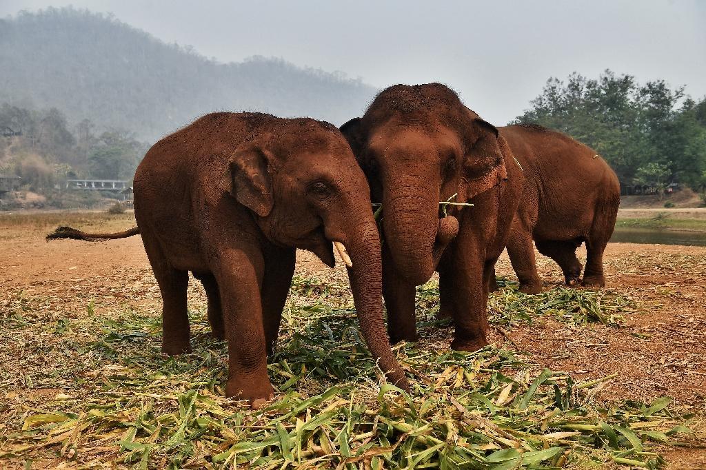 Des éléphants au refuge du Elephant Nature Park, près de Chiang Mai, le 13 mars 2020 en Thaïlande
