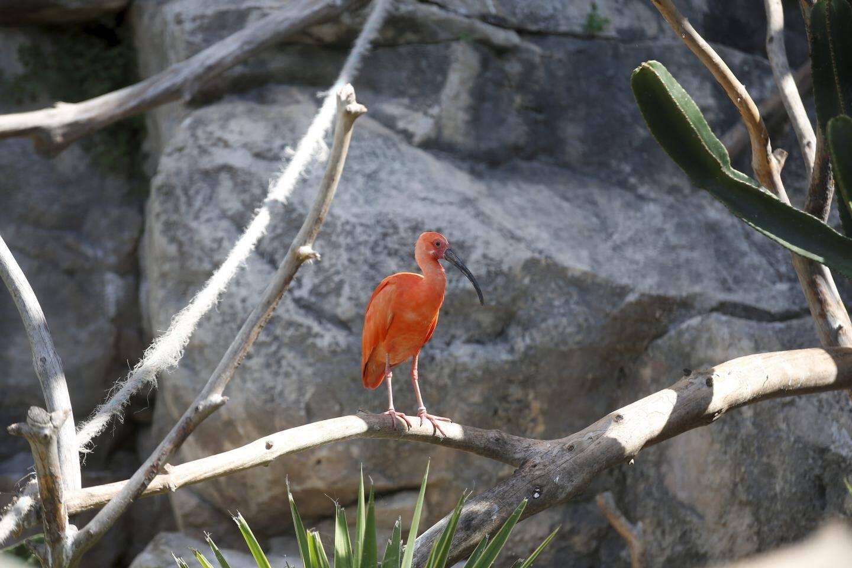 Les ibis rouges sont particulièrement flamboyants, car c'est la saison des amours.