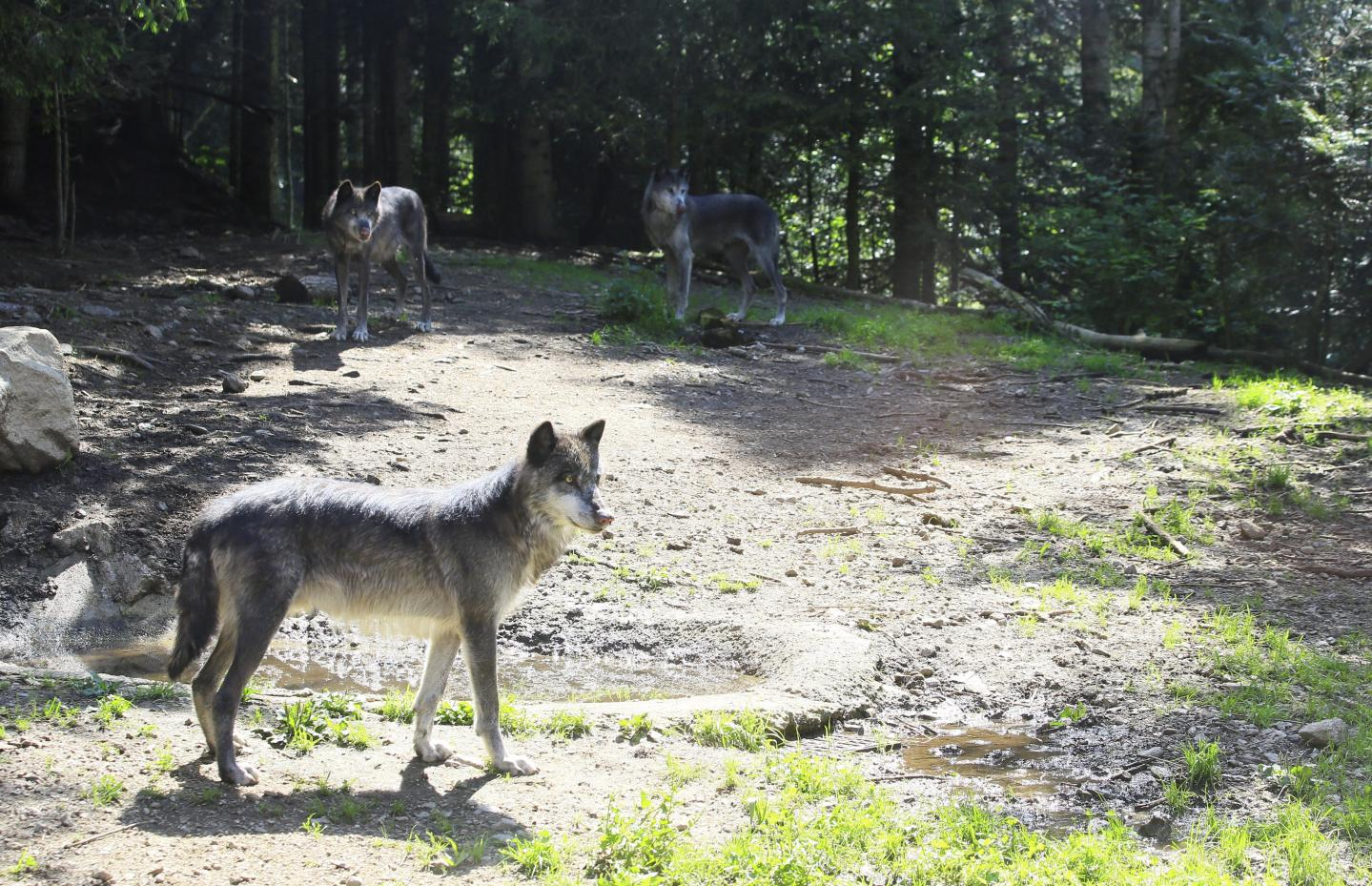 Il est possible d'aller (re)voir le mythique loup du parc Alpha à Saint-Martin-Vésubie.