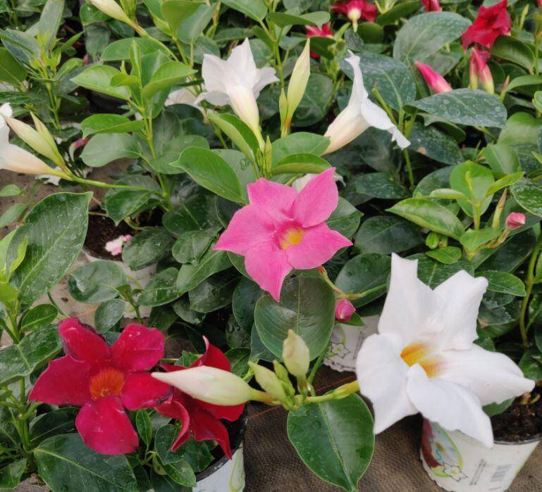 Le dipladenia, que l'on appelle parfois mandevilla, est une plante qui vient d'Amérique du Sud.