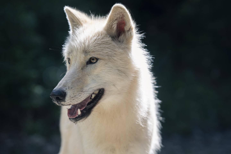 Trois loups blancs arctiques sont arrivés il y a quelques jours au Boréon, dans la Vésubie.