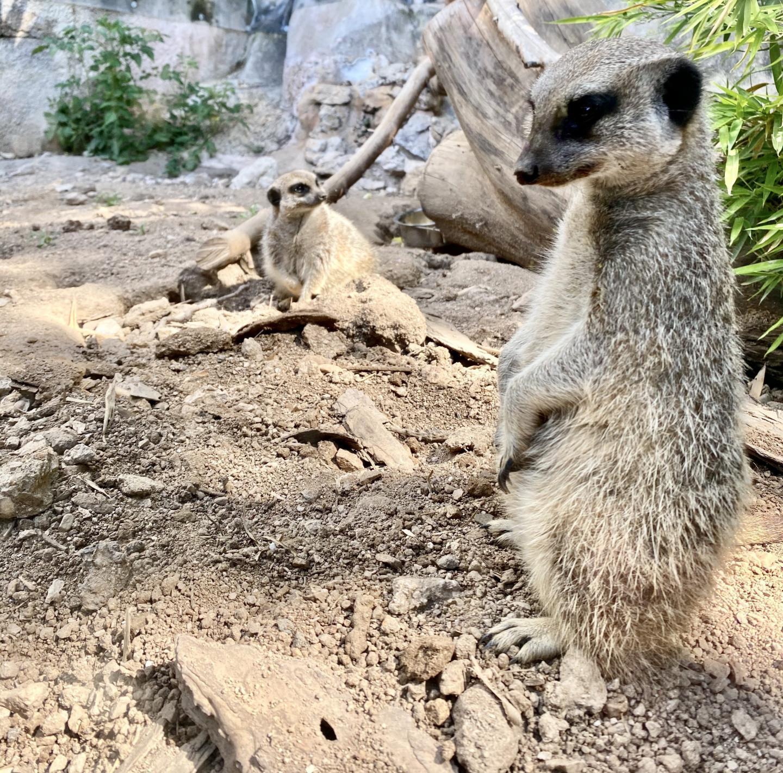 Les suricates vous attendent !
