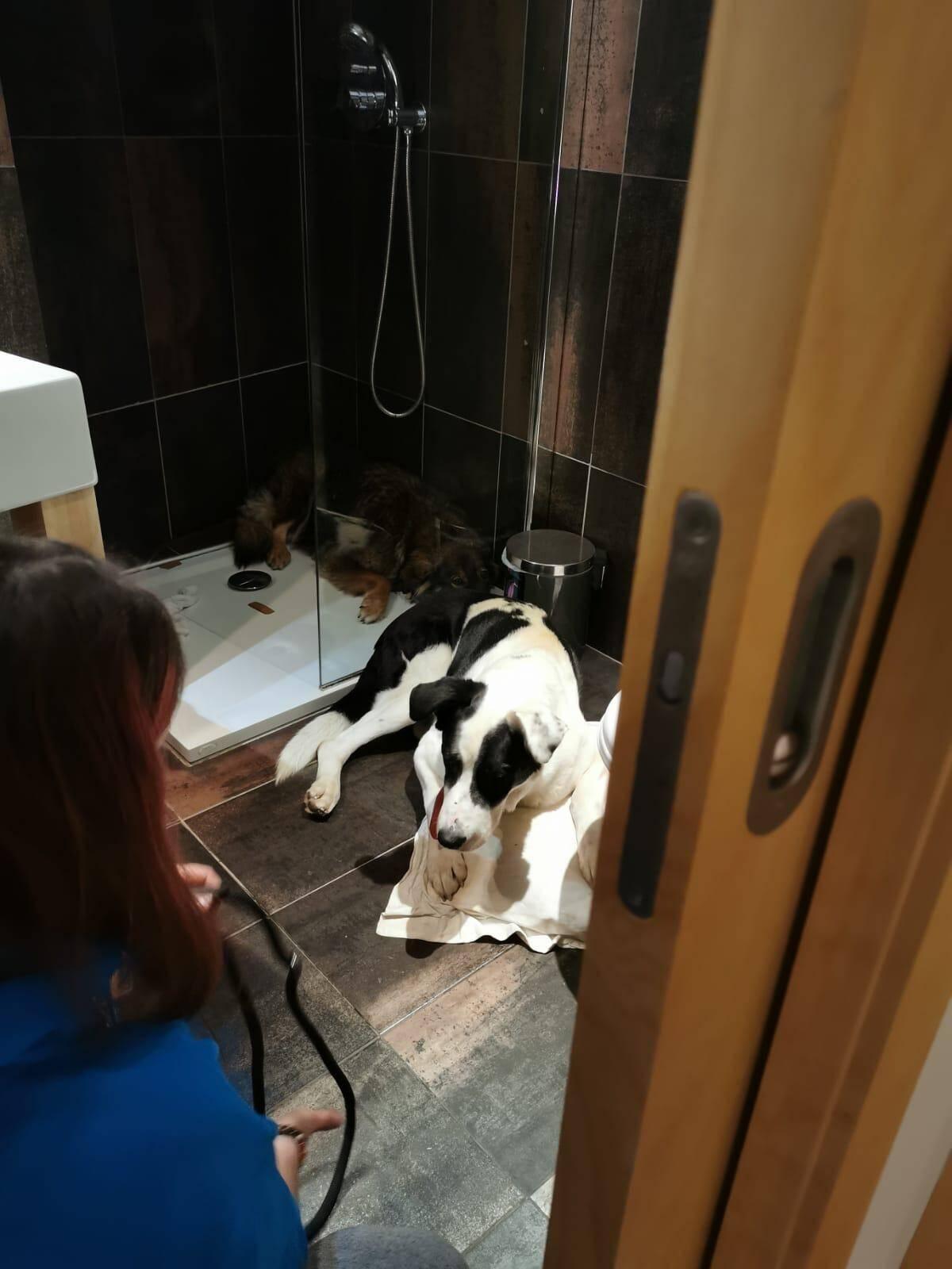 Avril 2020: Sedji et Hope, deux gros chiens enfermés dans des cages à chat par leur maîtresse, une prostituée vivant dans un hôtel à Cagnes-sur-Mer. Ils ont été placés dans une famille d'accueil qui va les adopter.