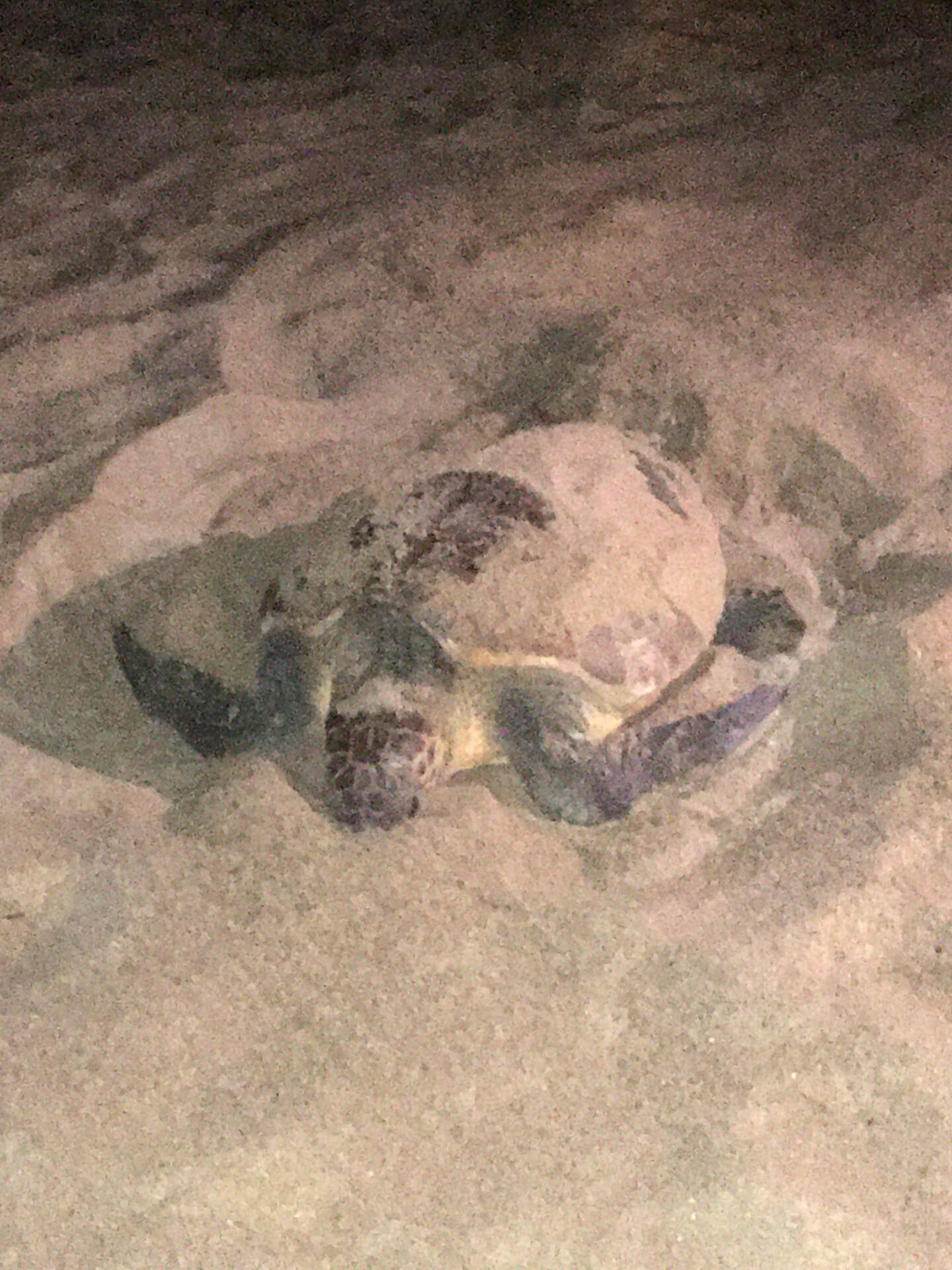 Aprés qu'elle eut fait son nid, le départ de la tortue caouanne a été immortalisé par un riverain.
