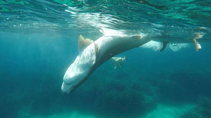 Le squale flottait à 30 mètres du rivage, ventre apparent.