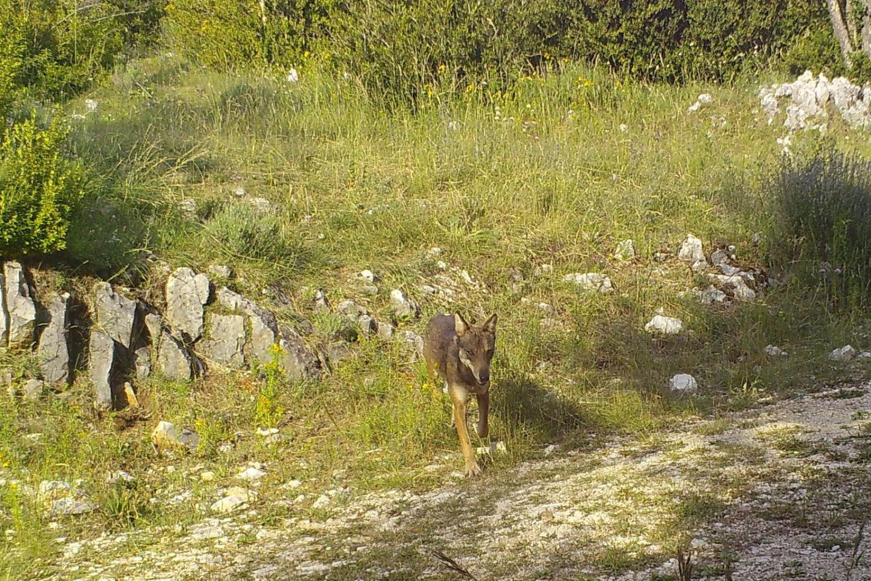 Un loup photographié à Séranon en juillet dernier