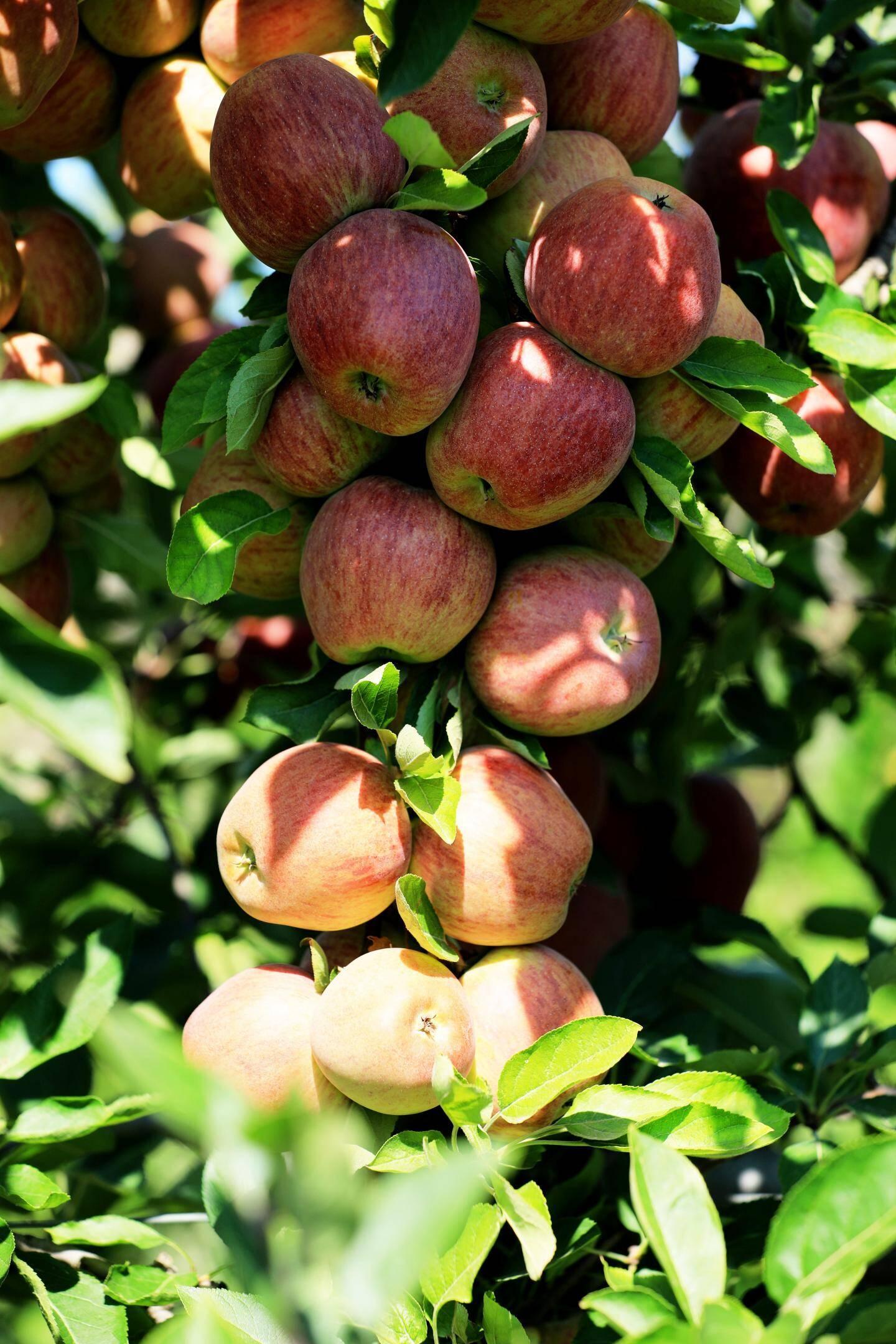 Une grappe de  jolies pommes du Domaine d'Astros.