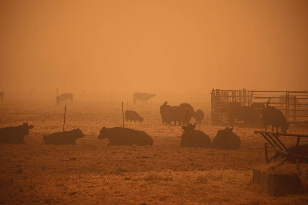Un épais brouillard orange entoure un enclos de vaches à Molalla, dans l'Oregon, le 10 septembre 2020