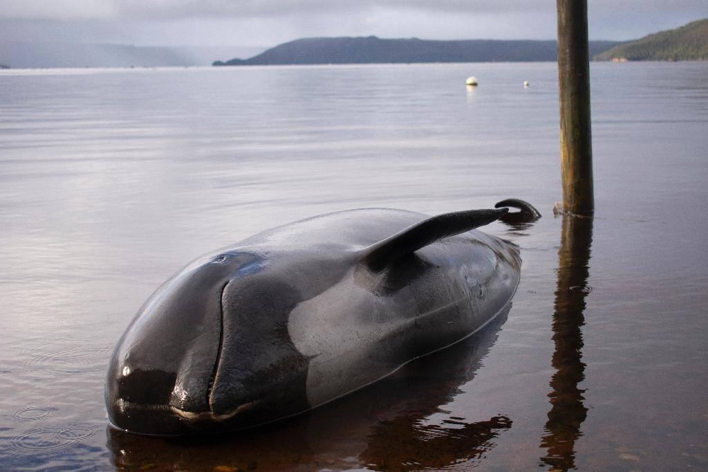 Un dauphin-pilote échoué sur une plage de Macquarie Harbour, le 24 septembre 2020 sur la côte ouest de la Tasmanie