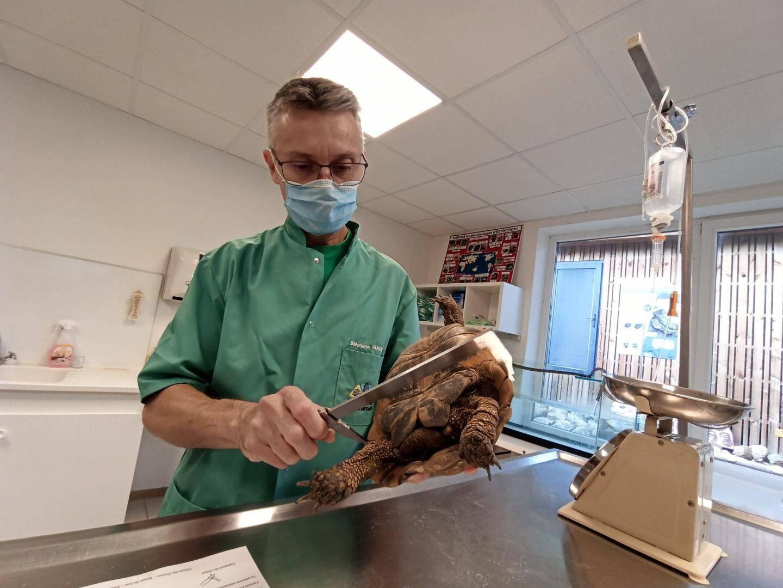 Stéphane Gagno, vétérinaire au Village des tortues, réalise les premiers examens après un transport pépère entre Les Arcs et Carnoules.