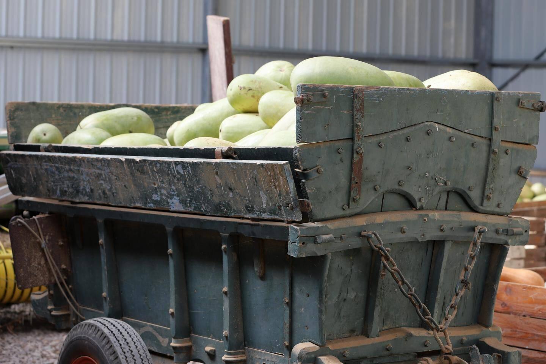 Sur la totalité de sa production de cucurbitacées, Joël Maille compte l'année prochaine produire 50 % de courges muscades, « pour répondre à la demande ».