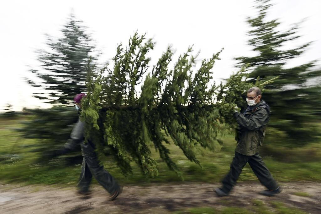 Les sapins de Noël dans une plantation à Weyersheim, dans l'est de la France, le 17 novembre 2020