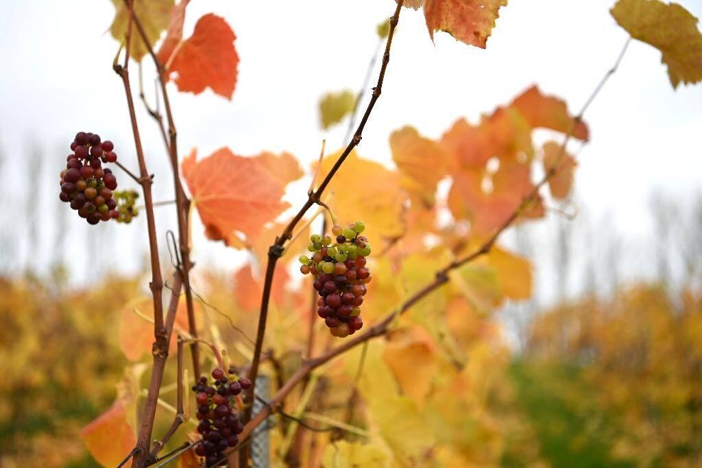 Des grappes non récoltées dans le domaine Haygrove Evolution's Sixteen Ridges Winery à Ledbury, en Angleterre, le 12 novembre 2020