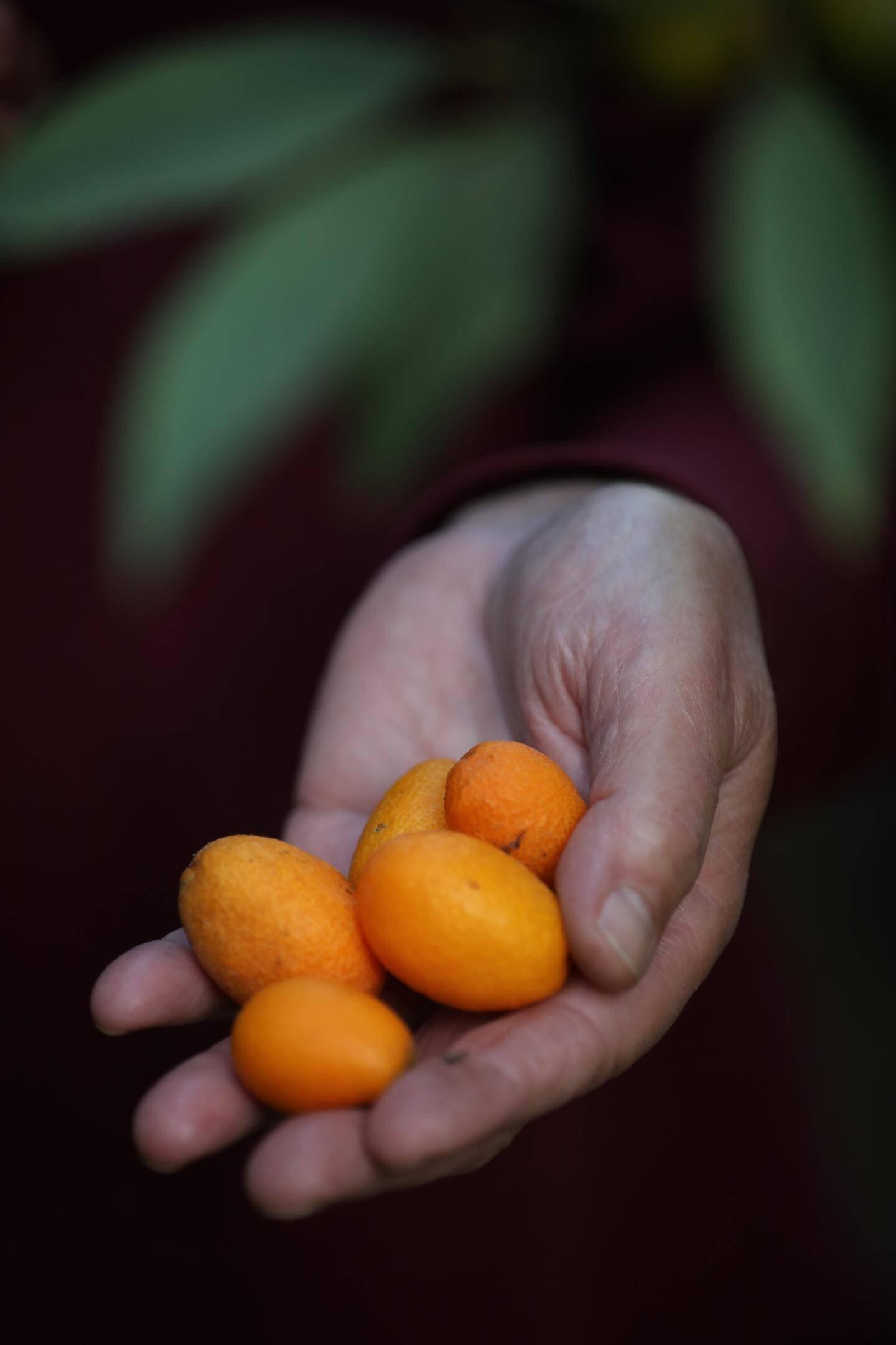 Des  kumquats cultivés à Hyères.