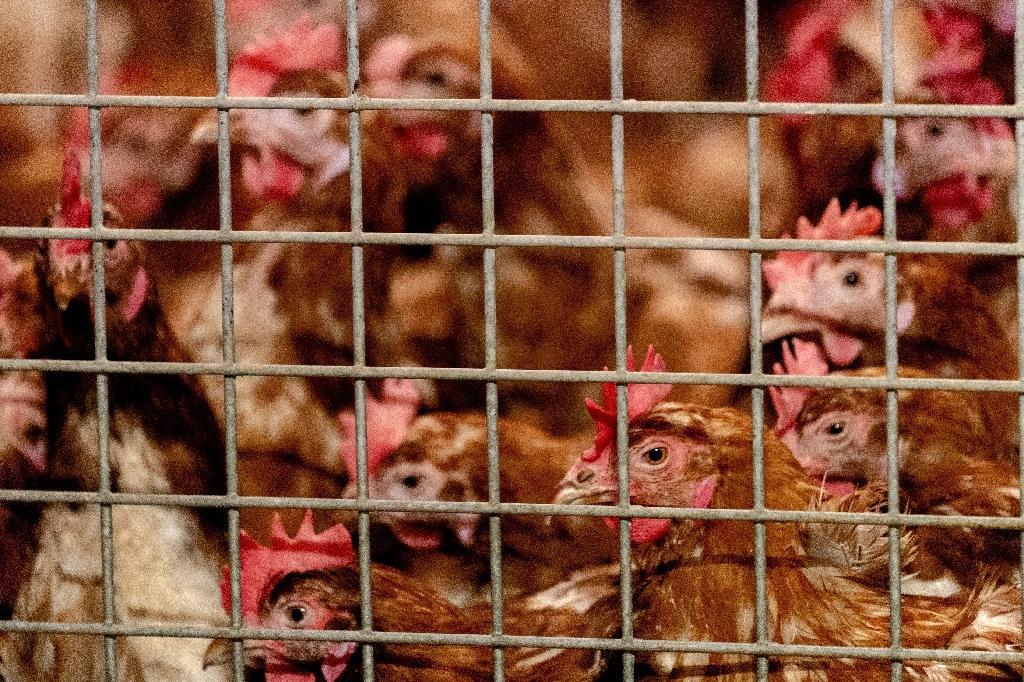 Des poulets confinés en raison de la grippe aviaire, le 23 octobre 2020 à Barneveld au sud-est d'Amsterdam au Pays-Bas