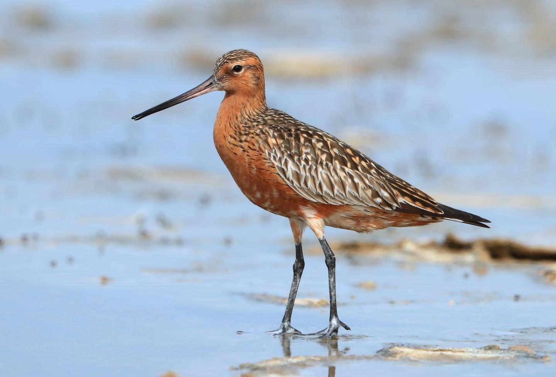 La barbe rousse est l'espèce qui possède le record d'un vol migratoire sans interruption.