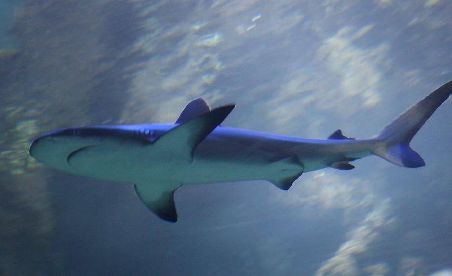 Les requins seront les stars de cette nouvelle exposition. Le but : changer leur image.