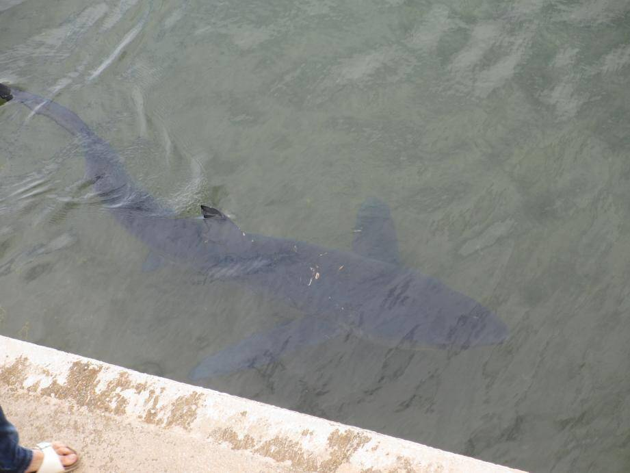 Requin dans le port