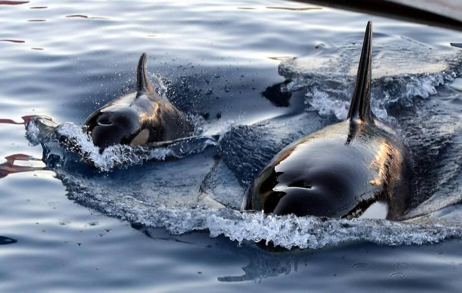 """Le nouveau bébé phoque de Marineland pèse déjà """"150 kilos"""" et se montre """"particulièrement proche de sa maman, Wiki""""."""