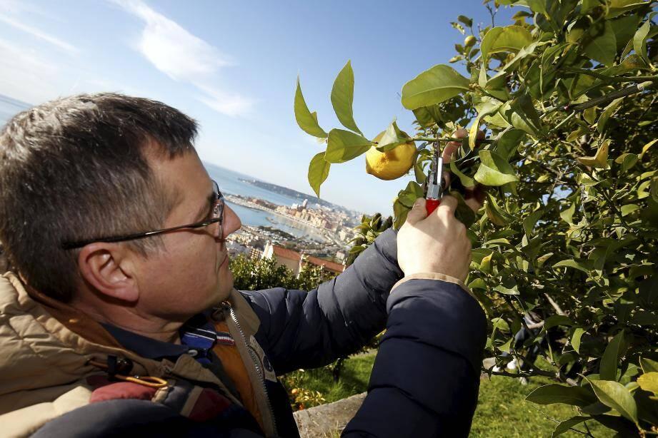 Pendant la Fête, l'OT de Menton propose des visites guidées du verger La Casetta, sur les hauteurs de Garavan.