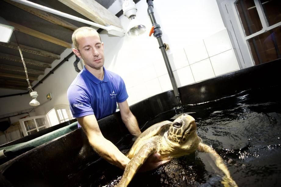 Un sac plastique d'une bonne quinzaine de centimètres de diamètre, une fois déplié, a été retrouvé coincé dans le colon de cette tortue caouanne.