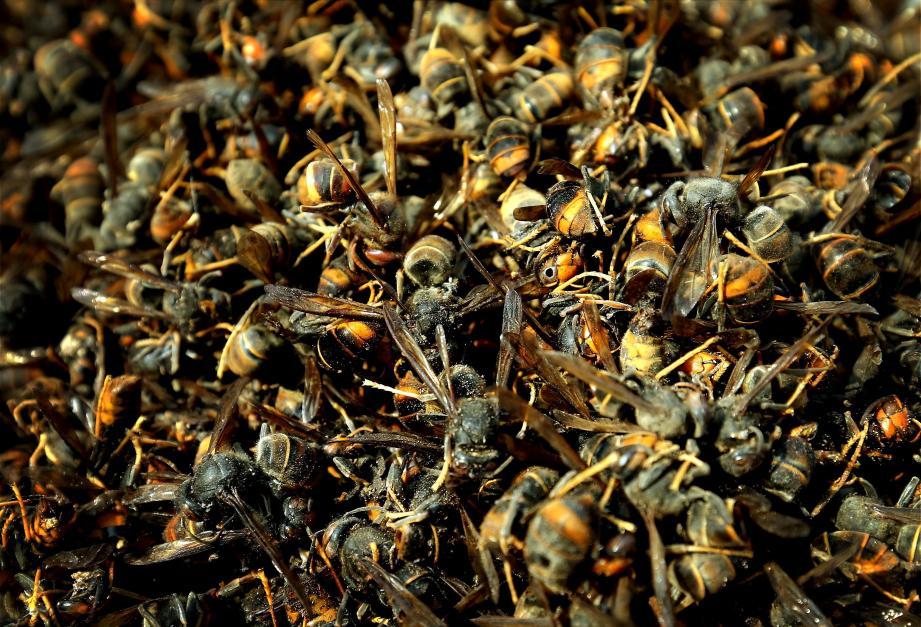 Le frelon asiatique est une véritable plaie pour les apiculteurs.