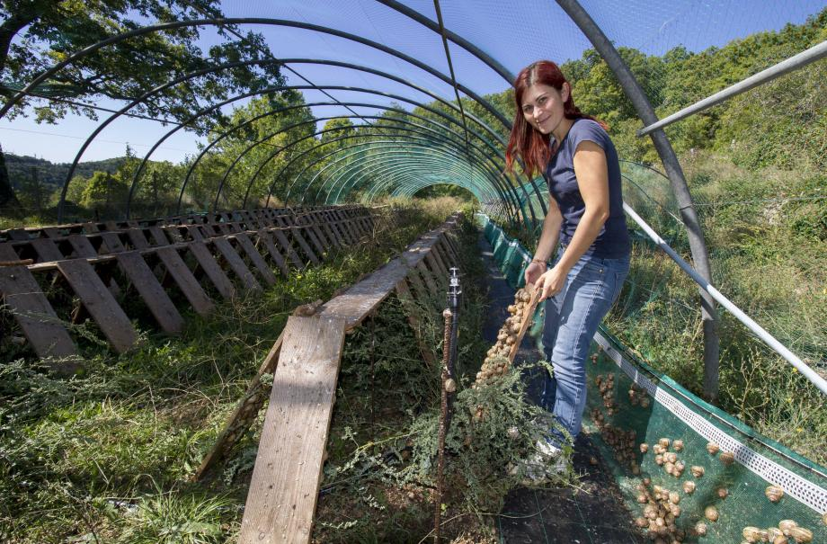 Odeline Luiggi, hélicultrice bio, présente une planche de collage bien fournie en escargots.
