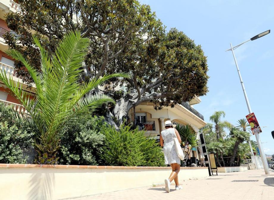 """Sur la promenade du Soleil, un spécimen de Ficus Macrophylla veille sur le restaurant """"Bouddha Beach"""". Son âge est estimé à une centaine d'années. Son aspect impressionnant est dû au développement de ses racines aériennes ramifiées, qui rejoignent le sol et forment des troncs."""