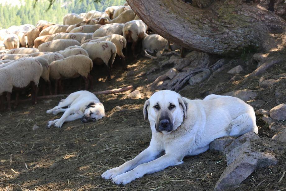 Les chiens de protections (ici deux bergers d'Anatolie) protègent les troupeaux des attaques de loup. Ils travaillent en autonomie, surtout la nuit.