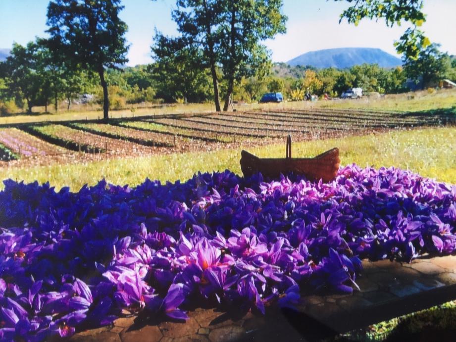 Généralement, la floraison du crocus sativus démarre à l'automne, aux alentours du 10 octobre.