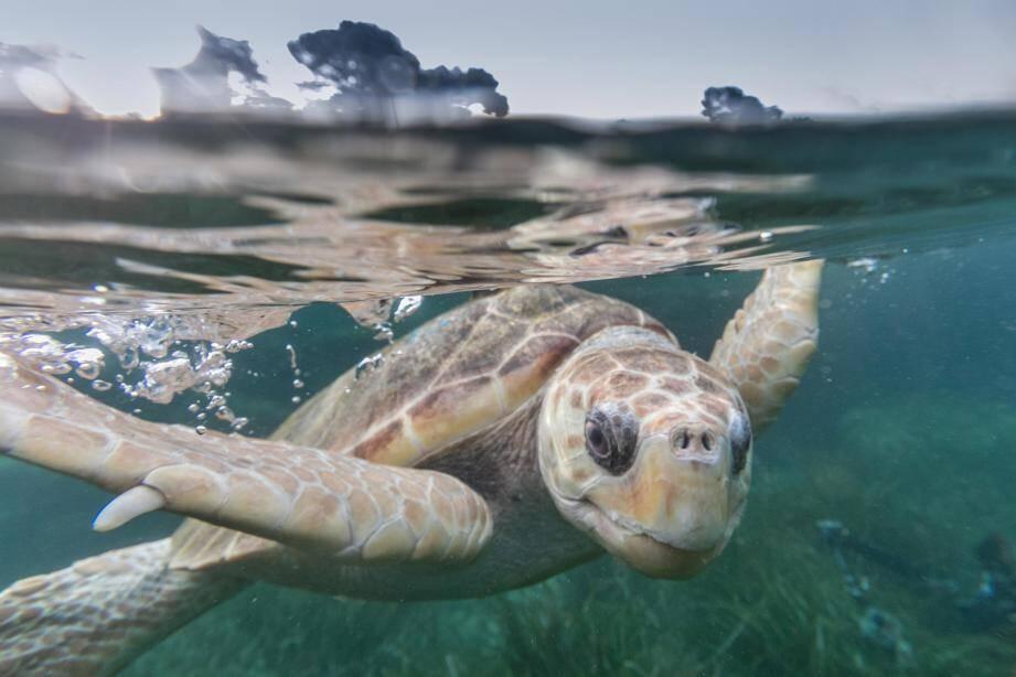 Mathilde, tortue caouanne, a passé deux ans et demi à Cherbourg. Début 2021 elle va revenir dans son bassin natal à Marineland.