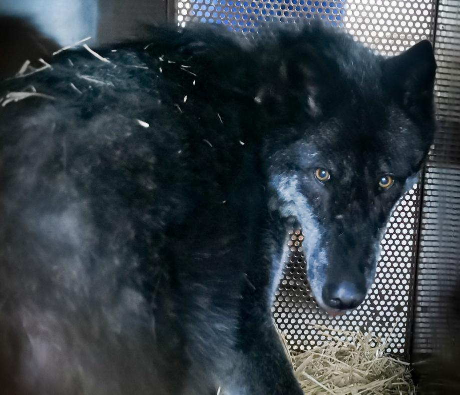 Healy est une louve canadienne, âgée de sept ans et demi. Elle a rejoint les autres rescapés de la tempête Alex dans les Deux-Sèvres (79).