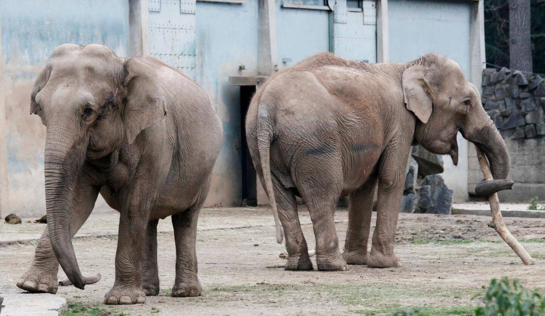 Les deux éléphantes soupçonnées d'être tuberculeuses doivent quitter jeudi après-midi le zoo de Lyon.