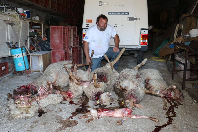 Cet éleveur du plateau de Canjuers constatait Les dégâts causés par un loup lors de l'hiver dernier.