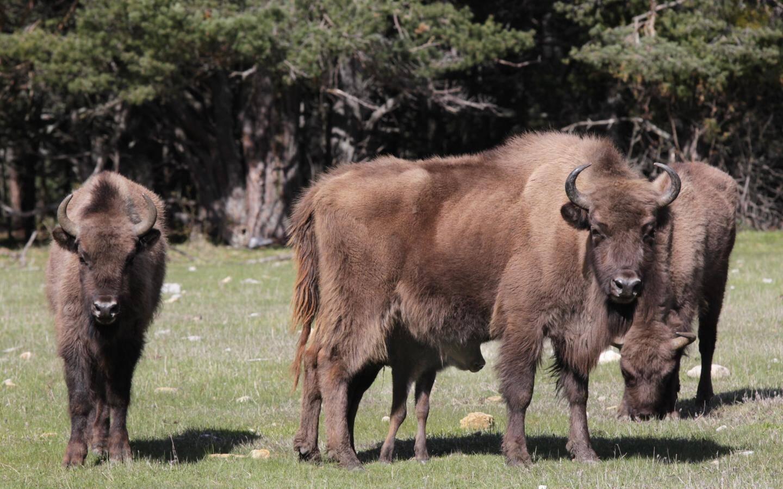 Les Bisons d'Europe de la Réserve des Monts d'Azur à Thorenc