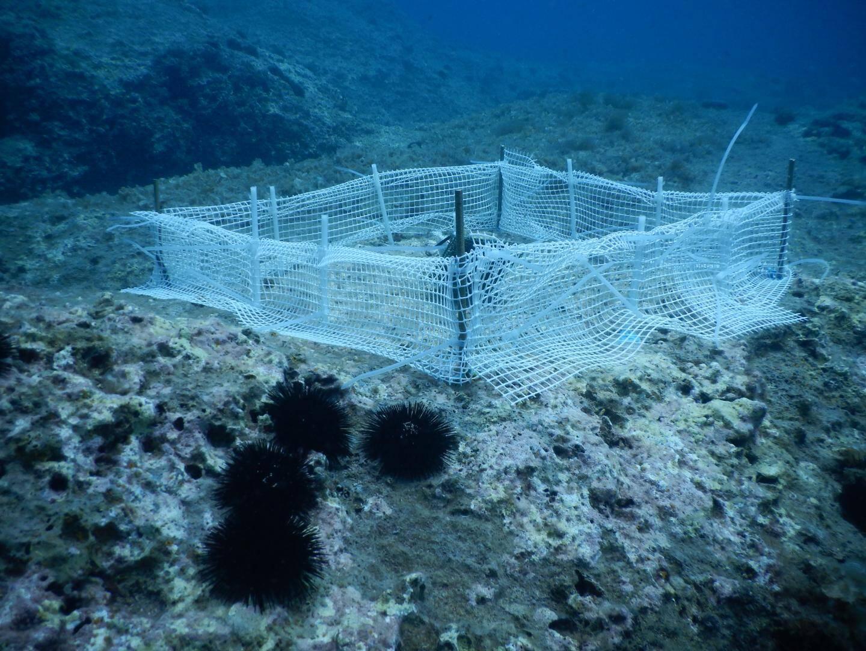 """Des plantations sous les mers...  et des filets pour que les oursins ne viennent pas """"brouter"""" ces algues"""