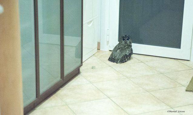Noire de suie  et un peu désorientée,  la chouette a fini par s'enfuir par une porte-fenêtre.