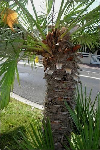 Certains palmiers désaxent leur tête.