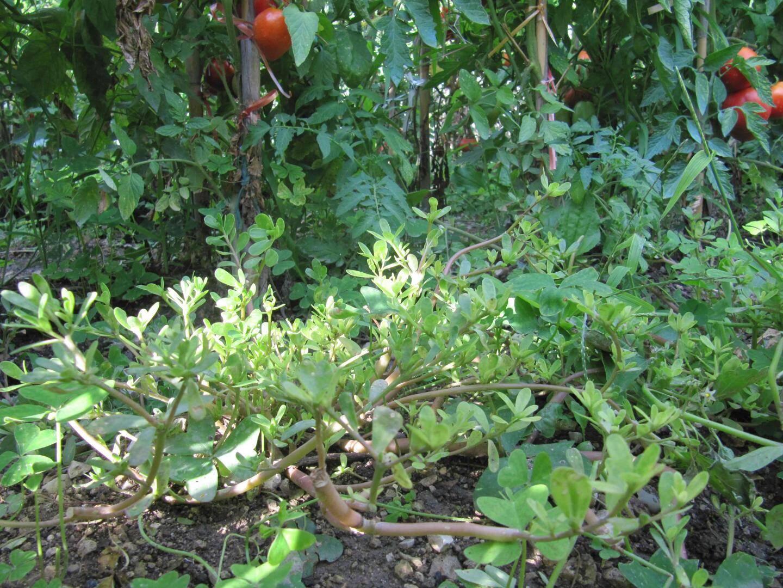 Production sauvage de pourpier dans une culture de tomates.