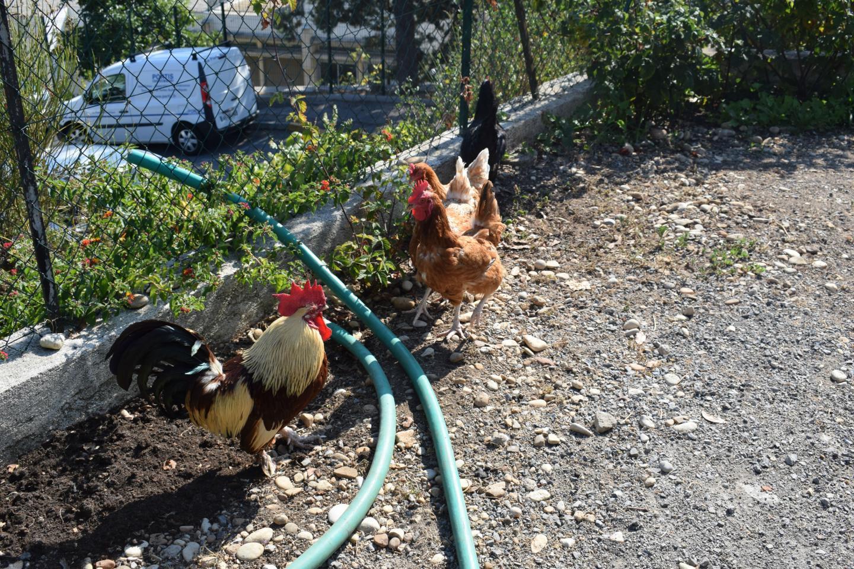Les coqs et les poules peuvent se balader à loisir dans le jardin de la propriété.