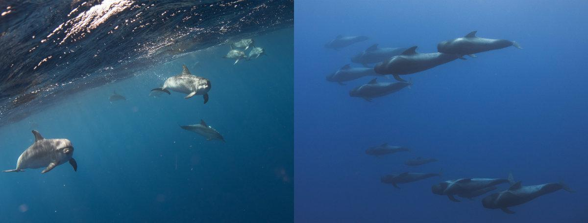Les membres de la mission en Macaronésie ne sont pas près d'oublier ces images de dauphins, cachalots et des globicéphales – des baleines mesurant jusqu'à 8 mètres – croisés dans la zone de Madère.