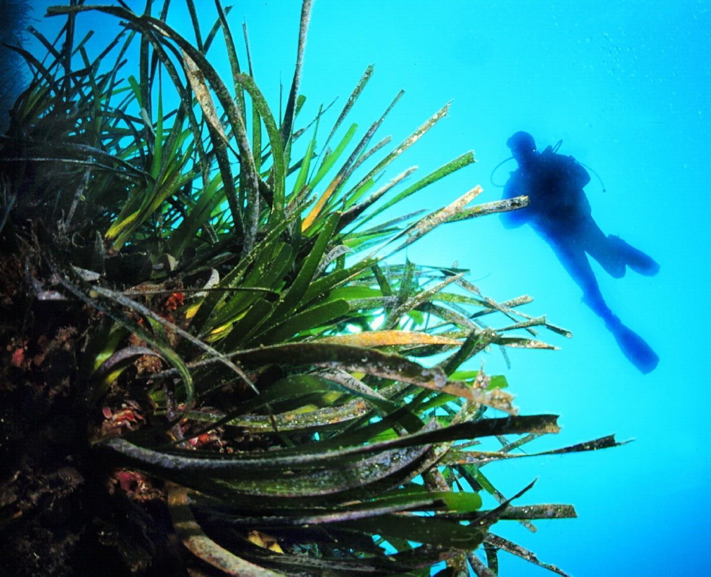 Les posidonies sont le poumon de la Méditerranée, mais ces herbiers sont menacés par les ancres des bateaux de plaisance.