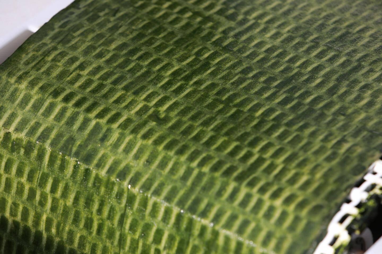"""Un procédé révolutionnaire: les algues ne sont plus cultivées en suspension dans l'eau mais en """"biofilms""""."""