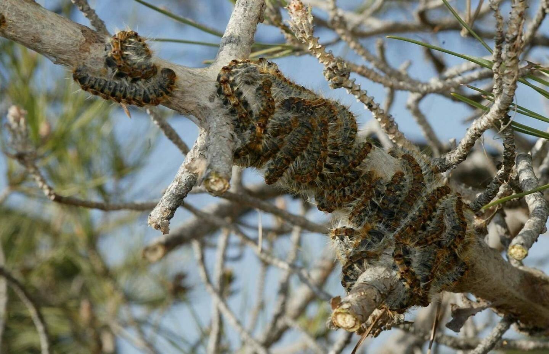 Les poils urticants et allergènes de la chenille peuvent causer des dégâts chez l'homme et les animaux.