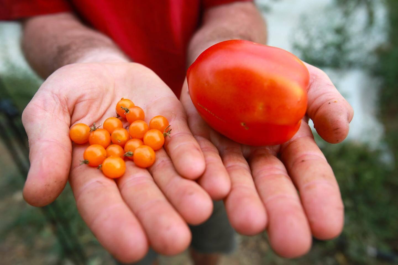 A côté des tomates sauvages, un tomate issue de millénaires d'agriculture dont il récupère les graines...