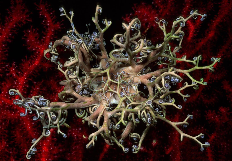Ce gorgonocéphale est une des merveilles que Laurent Ballesta a pu observer au fond de la Grande Bleue.