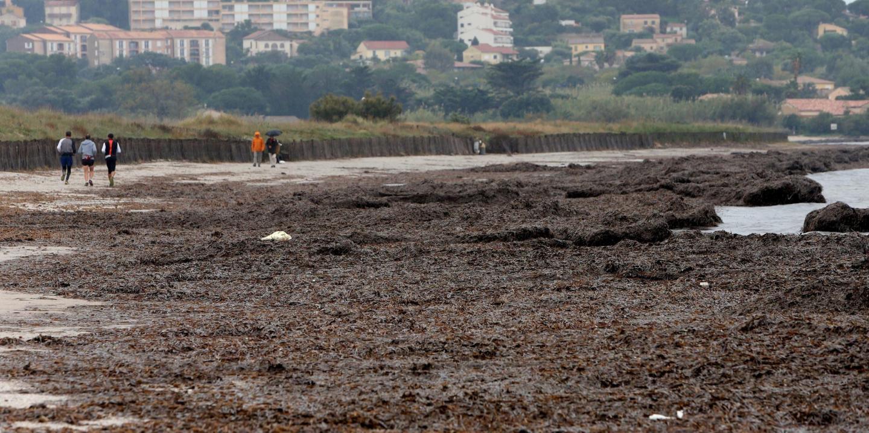 La plage de l'Almanarre sous les feuilles de posidonie.À gauche : Andrée Sougy se réjouit de la floraison des plantes (à dr.).(Photos Luc Boutria et DR) HYERES LA _POSIDONIE