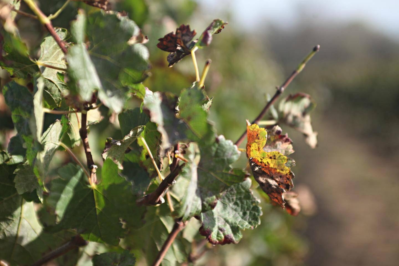 Lorsque le champignon se propage dans la plante, les feuilles ont tendance à se courber, à se nécroser et finissent généralement par tomber.